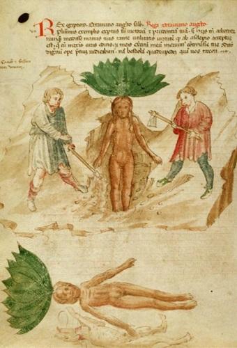 Mandrake, Apuleius Herbarium
