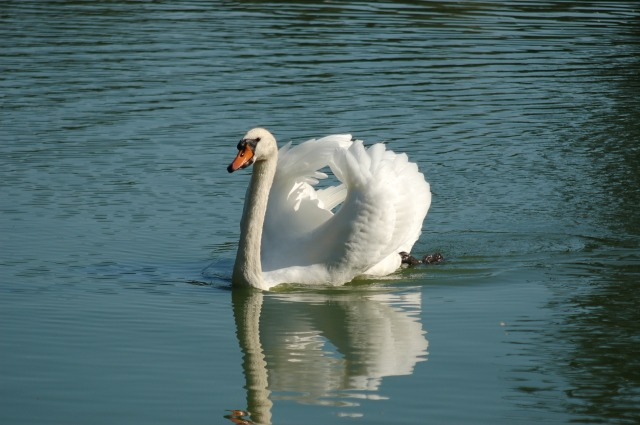 swan-4411514_1920